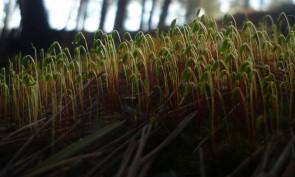 Коробочки на женских растениях напоминают голову кукушки. Автор: Дмитрий Латышев