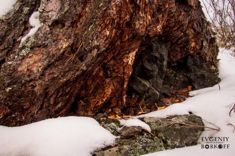 Старая лиственница укрывает чёрную скалу. Автор: Евгений Бобков