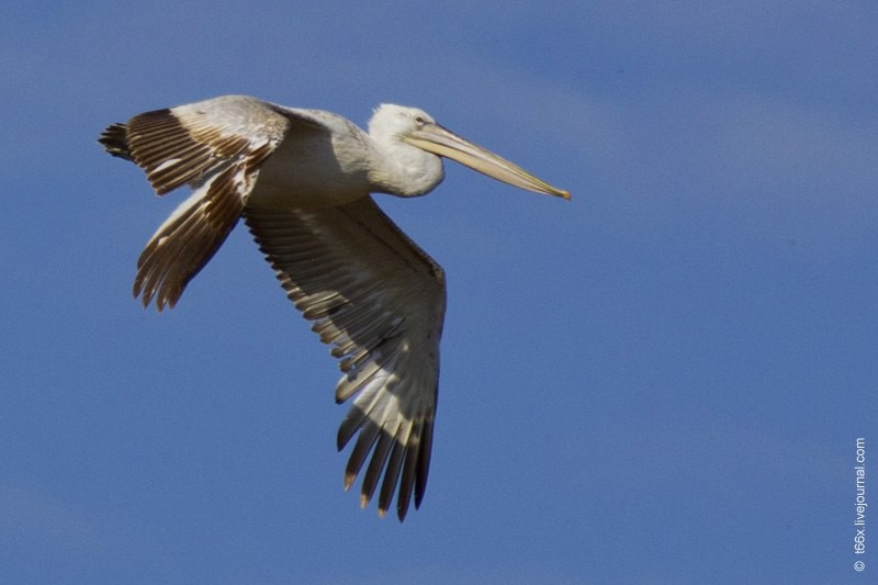 Кудрявый пеликан. Автор: Евгений Попов