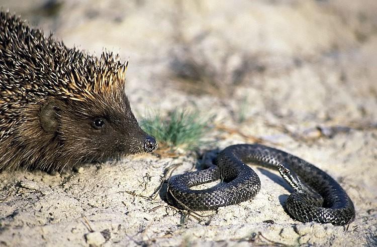 Еж и змея. Автор: не известен