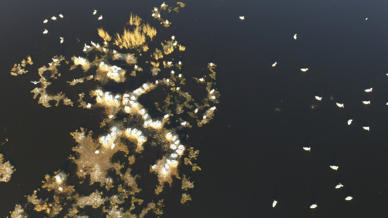 Колония пеликанов с квадрокоптера. Автор: Евгений Попов