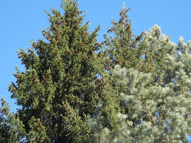 Думаете, хвойные деревья одинаково зелёные?. Автор: Михаил Латышев