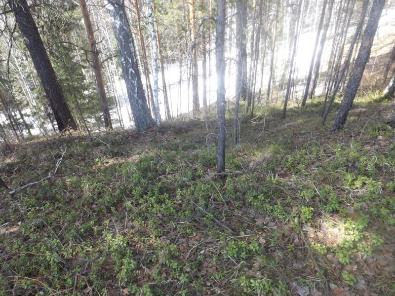 Под солнцем от снега по лесу распространялось необычное сияние.. Автор: Татьяна Латышева
