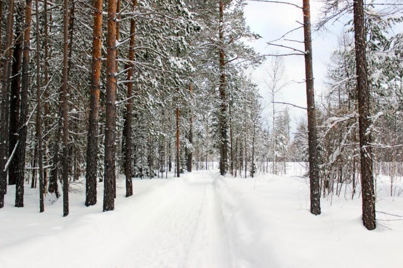 Зимний лес. Автор: Катерина Панина (Книпенберг)