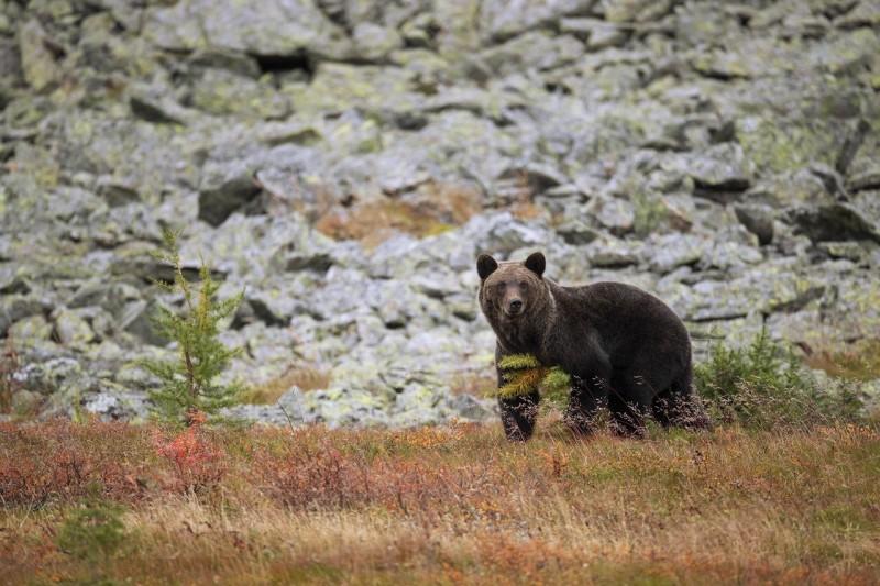 Бурый медведь. Автор: Владислав Костылев