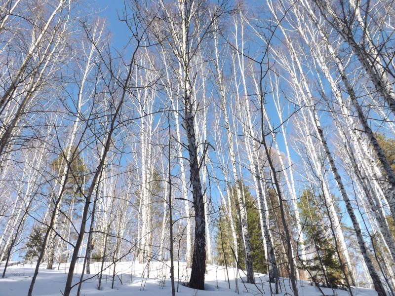 Берёзы и снег становятся ослепительно белыми.. Автор: Михаил Латышев