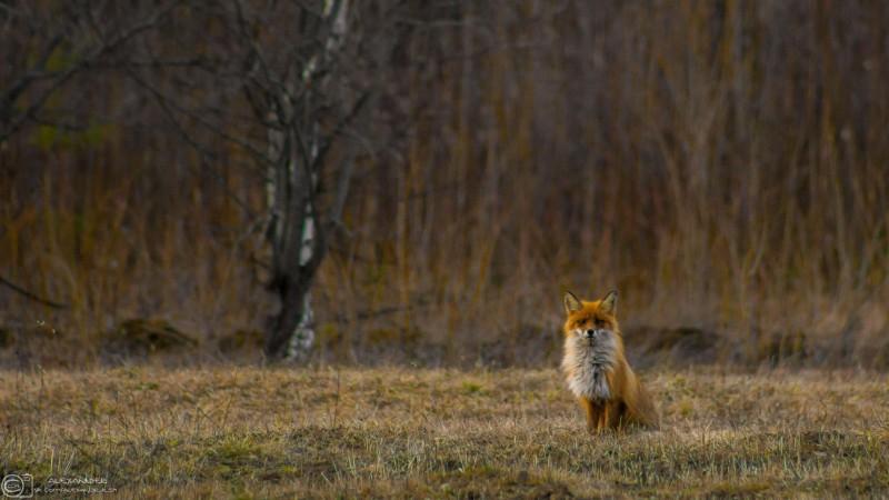 Серьезный лис. Автор: Александр Кузнецов