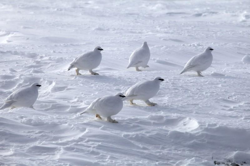 Белые куропатки. Автор: Евгений Жаравин