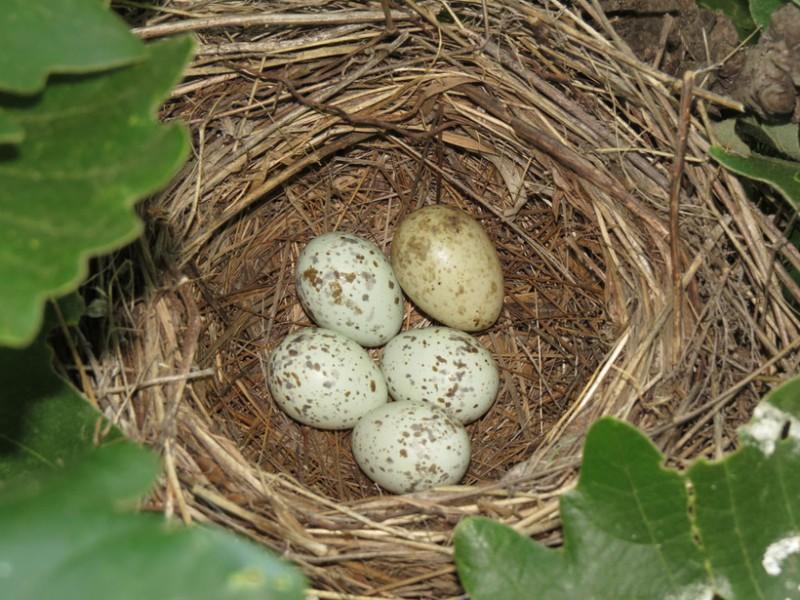 Яйцо кукушки в гнезде болотной камышевки. Автор: Василий Вишневский