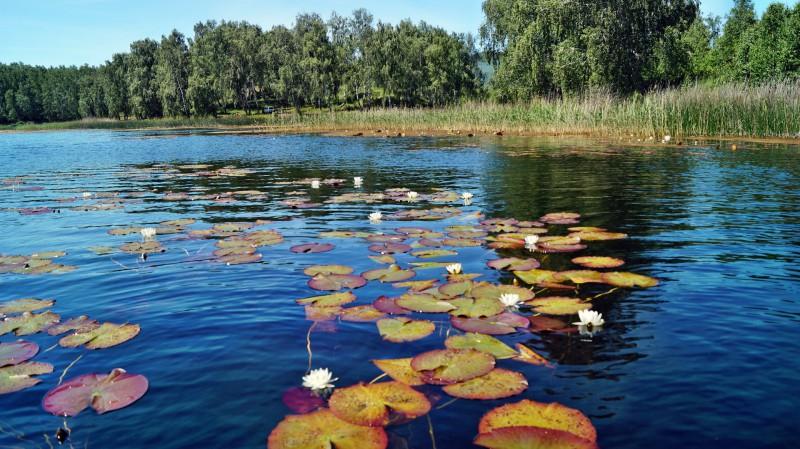 В древности кувшинку даже называли русалочий цветок. Автор: Юрий Чкареули