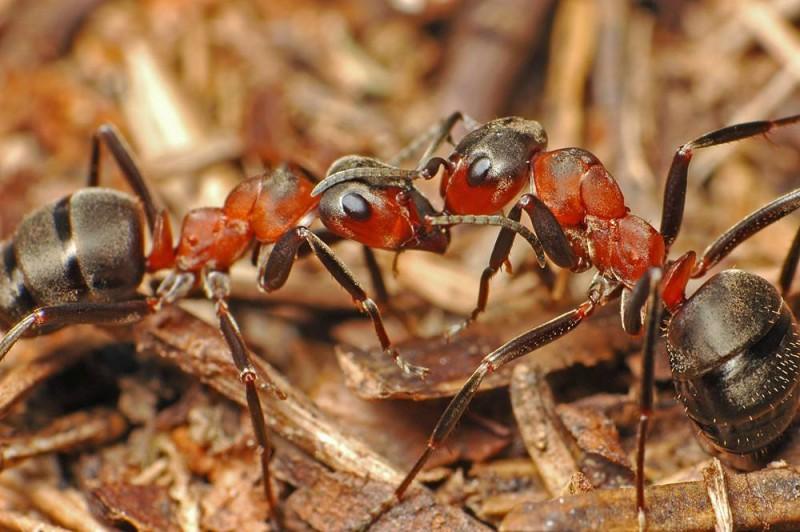 Рыжие муравьи. Автор: не известен