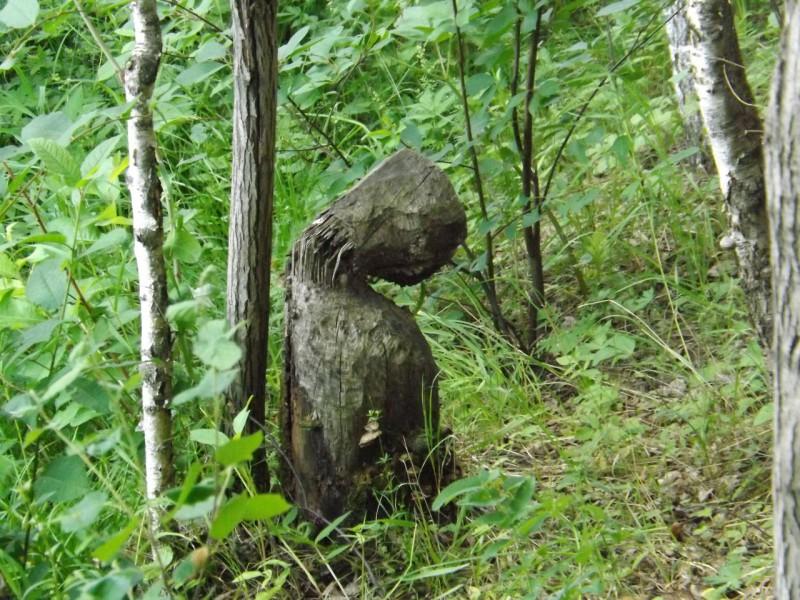 Деревянный чужой – памятка от бобров.. Автор: Михаил Латышев