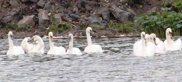 Лебеди на берегу пруда в Лысьве. Автор: Игорь Михайлов, источник http://zwezda.perm.ru