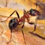 интересное о муравьях на Урале
